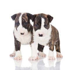 two brindle bull terrier puppies
