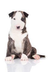 funny english bull terrier puppy