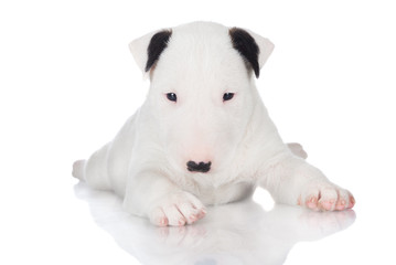 white english bull terrier puppy
