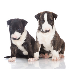 two adorable brindle puppies together