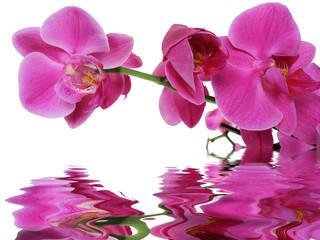 reflet d'orchidée