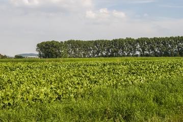 Organic mangold