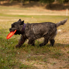 A little funny dog with a Frisbee