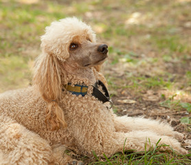 portrait of a funny poodle lying on grass