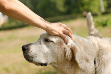 Cute golden retriever and the hand of the host