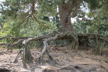 Besondere Wurzel einer Kiefer auf Sandboden