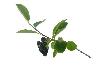 black berry aronia