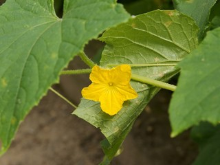 yellow flower of cucumber plant in a garden
