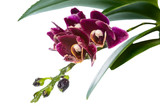 Blooming branch deep purple with drops orchid, phalaenopsis is i