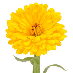 Yellow Double Calendula Flower on White Background