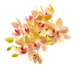 Blooming branch striped yellow and red orchid with drops, phalae