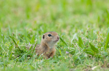 curious european ground squirrel looking out of the grass