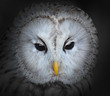 The evil eyes. The Ural owl (Strix uralensis).