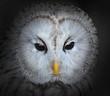The evil eyes. The Ural owl (Strix uralensis).