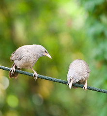 two jungle babbler birds sitting on a rope