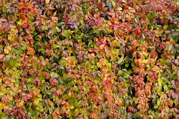 Parthenocissus Quinquefolia Changing Color in Autumn