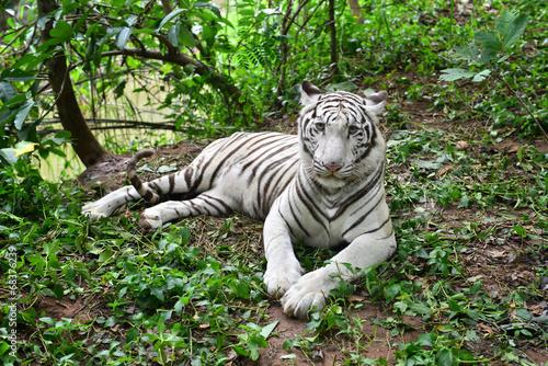 Deurstickers Luipaard female white bengal tiger