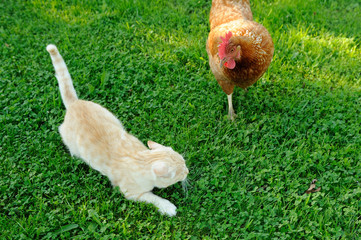 Cat Attacked by Chicken