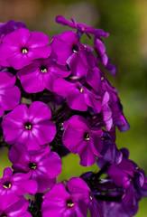 bouquet of purple flowering phlox