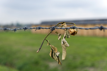 Rose on the barbed wire fence