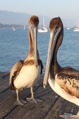 California Pelicans