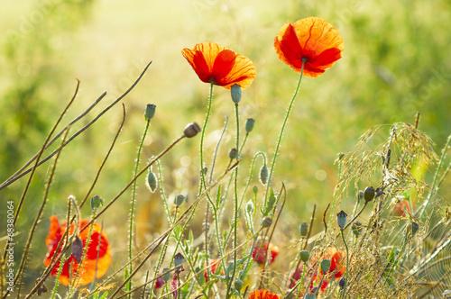 Kwiaty polnych maków pośród ziół i traw
