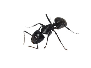 Big forest black ant isolated on white (Europe), Carpenter ant