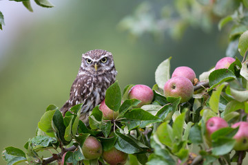 Little Owl In Orchard