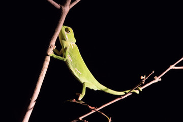 Chameleon balancing on a stick in darkness in selective lighting