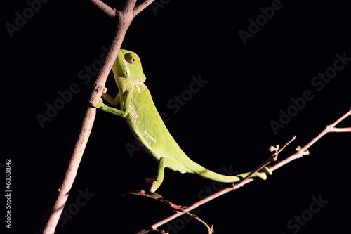 Staande foto Kameleon Chameleon balancing on a stick in darkness in selective lighting