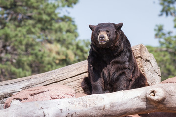 adult black bear