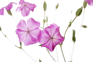 Dew drops on pink wild flowers isolated on white background