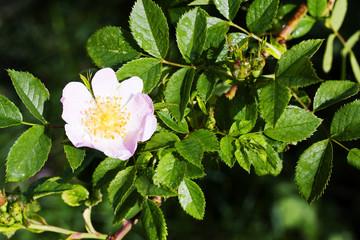 A dog-rose