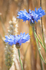The blue cornflower growing on an agricultural field wheat