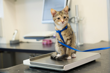 Little cat on weight scale
