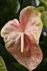 Anthurium. Flamingo flowers