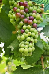Green and red grapes on vine