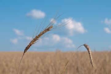 Колосок пшеницы