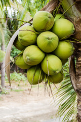 Bunch Green coconut fruit on tree.
