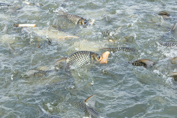 Carp fish eating bread