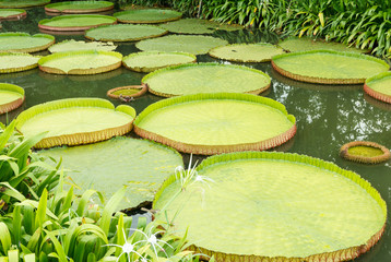 Victoria waterlily leaves