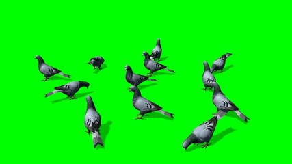 pigeons on the ground - green screen