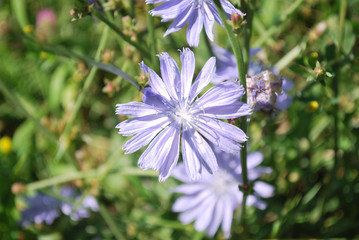 Flowers of wild chicory