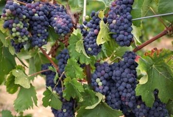 grappes de raisin sur la vigne