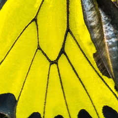 Golden birdwing butterfly wing