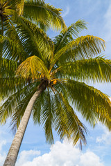 Green coconut palms against blue sky