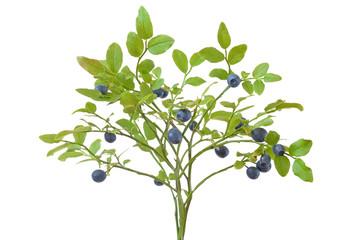 Ripe fresh blueberry branch