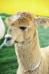 Alpaca portrait on a Farm