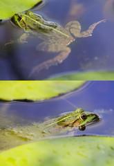 Europäischer Laubfrosch