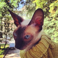 Sphinx cat in jacket on trees background